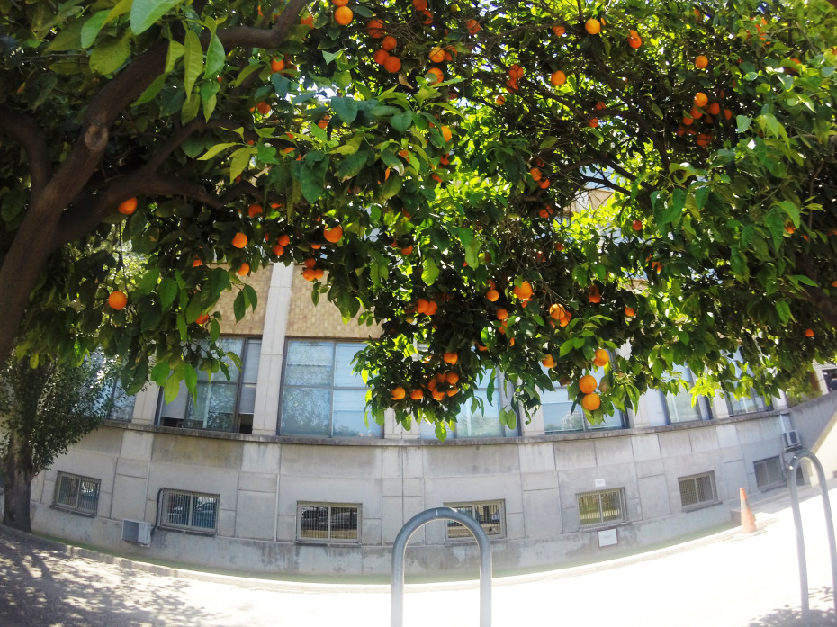 Oranges hanging in the trees in Valencia