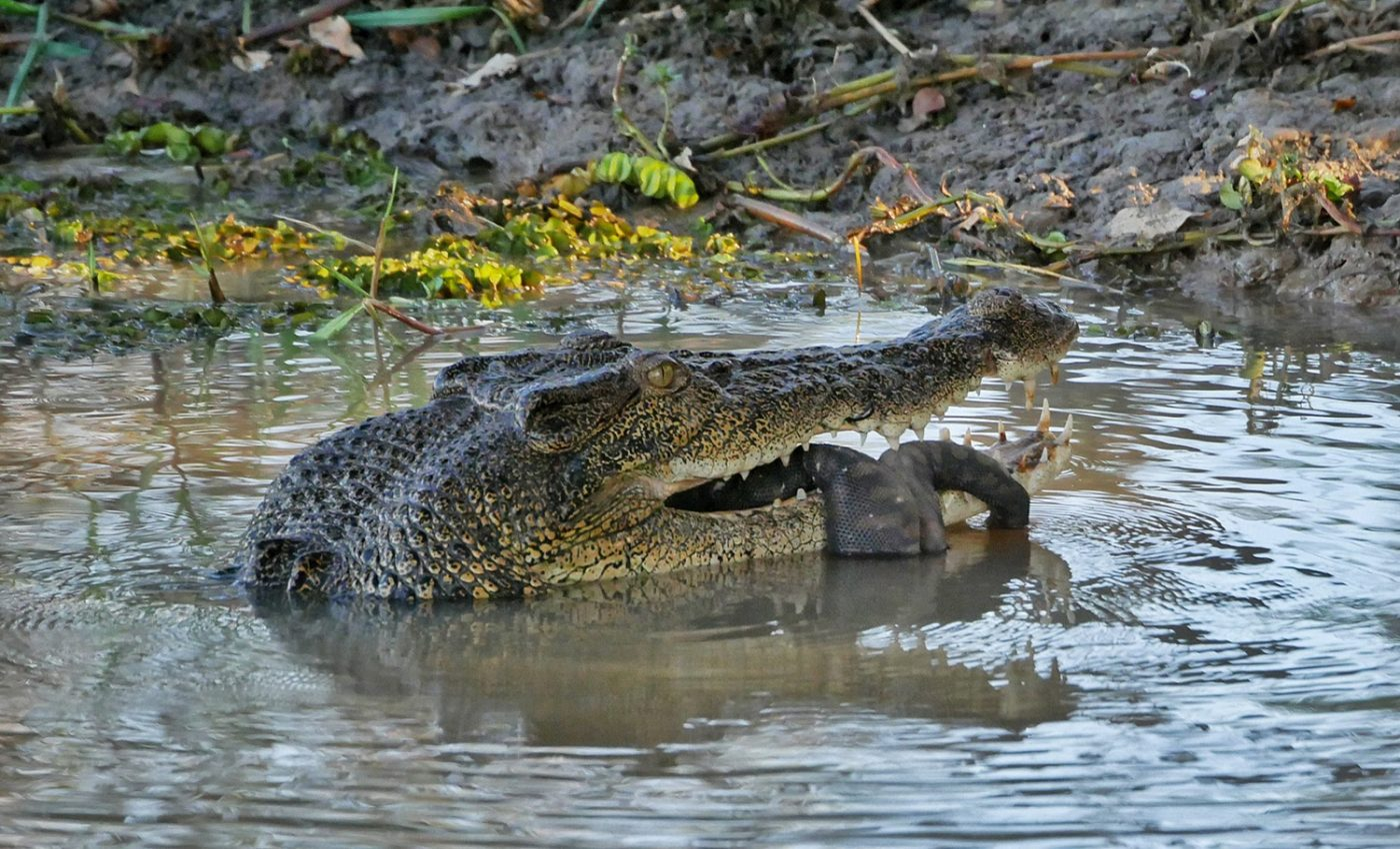 A crocodile eats a water snake at the Kakadu National Park