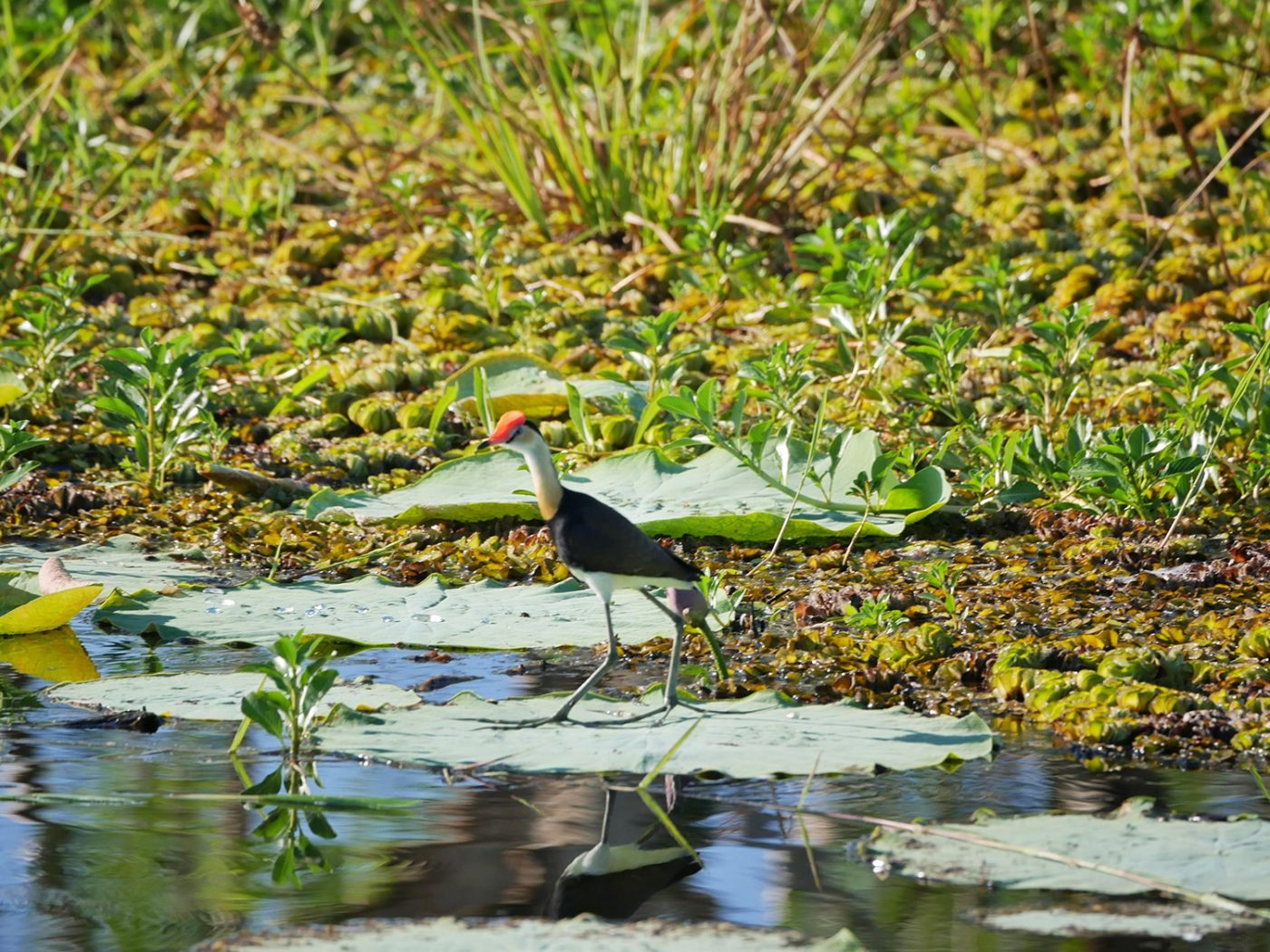 The Jacana Bird