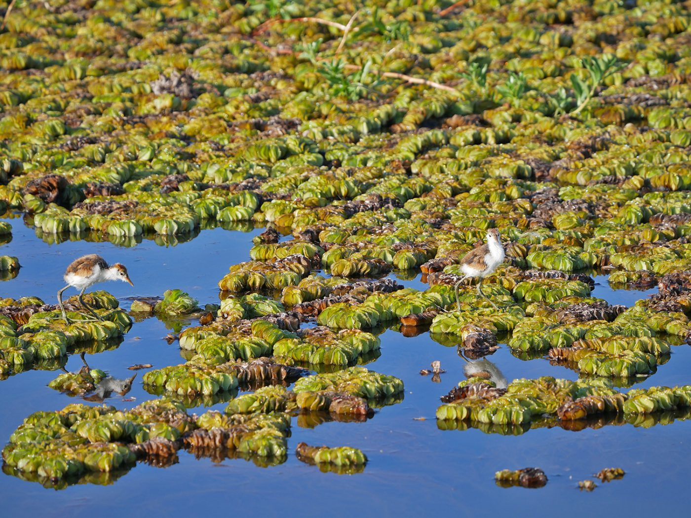 Jacana chicks - Yellow Water Cruise