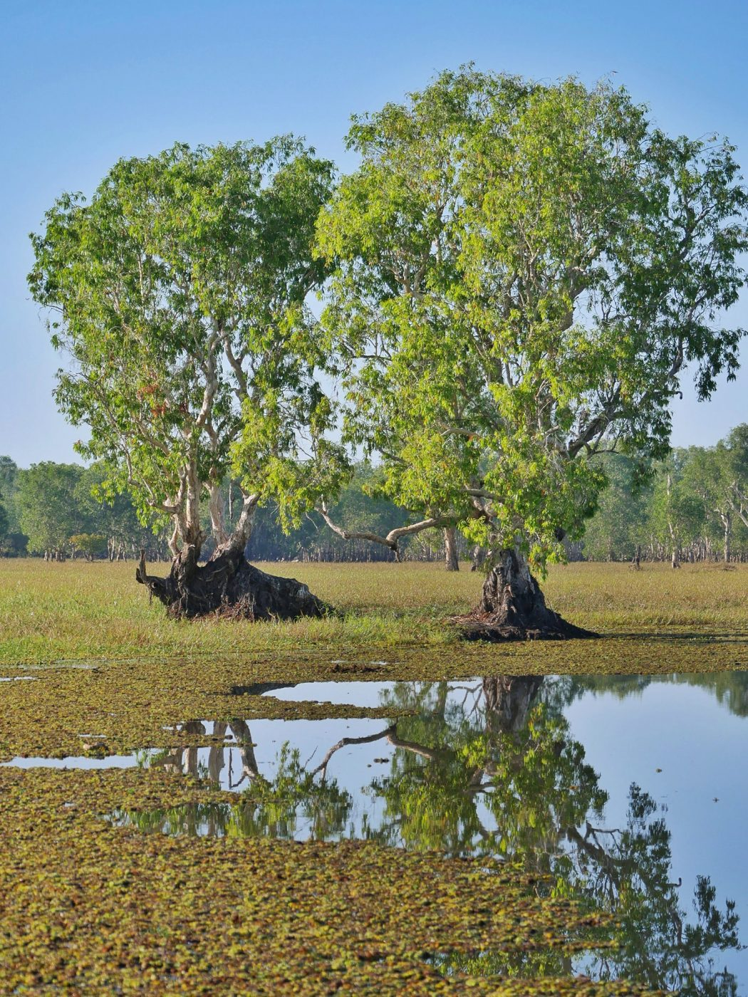 Beautiful trees reflecting as a mirror in the water - Kakadu National Park