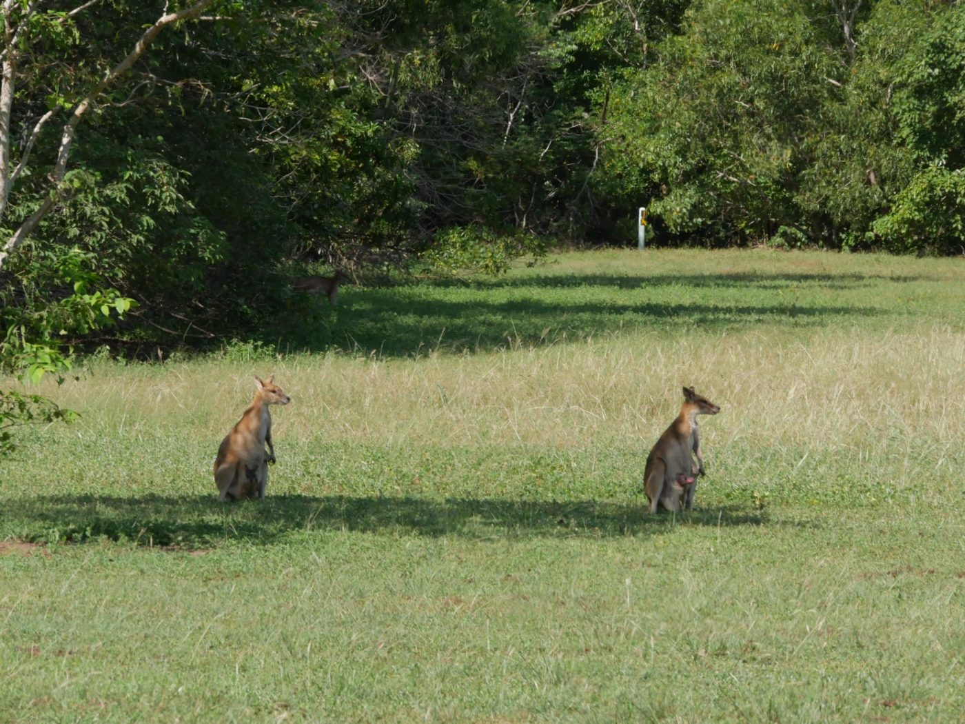 Wallabies at East Point Reserve Darwin