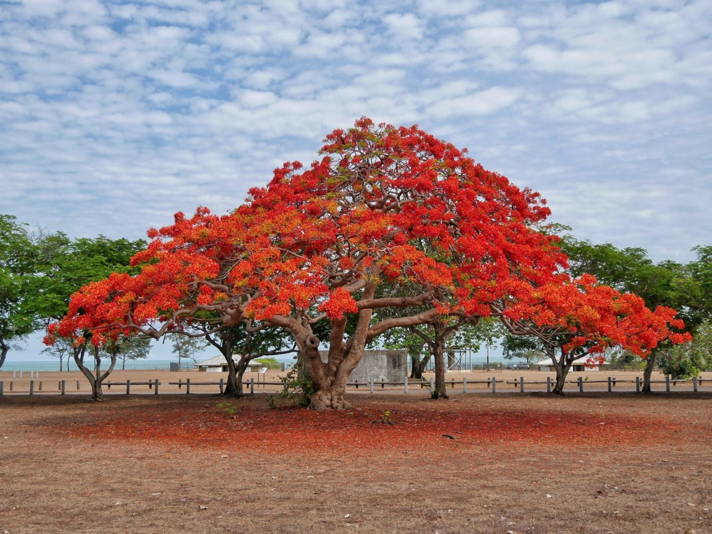 Beautiful trees with red blossom