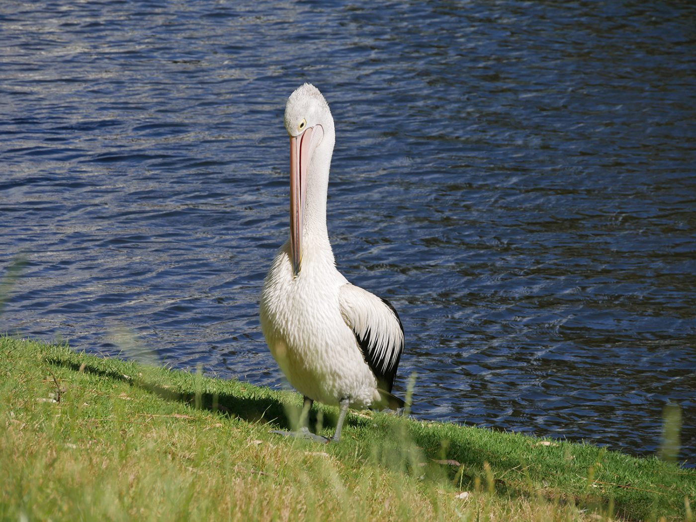 Pelicans sitting along the river