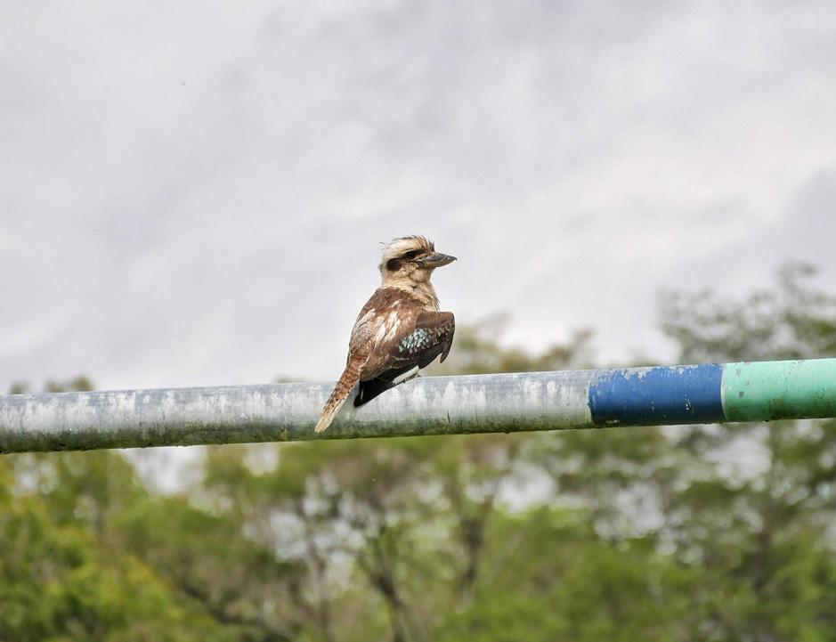 Beautiful Kookaburra