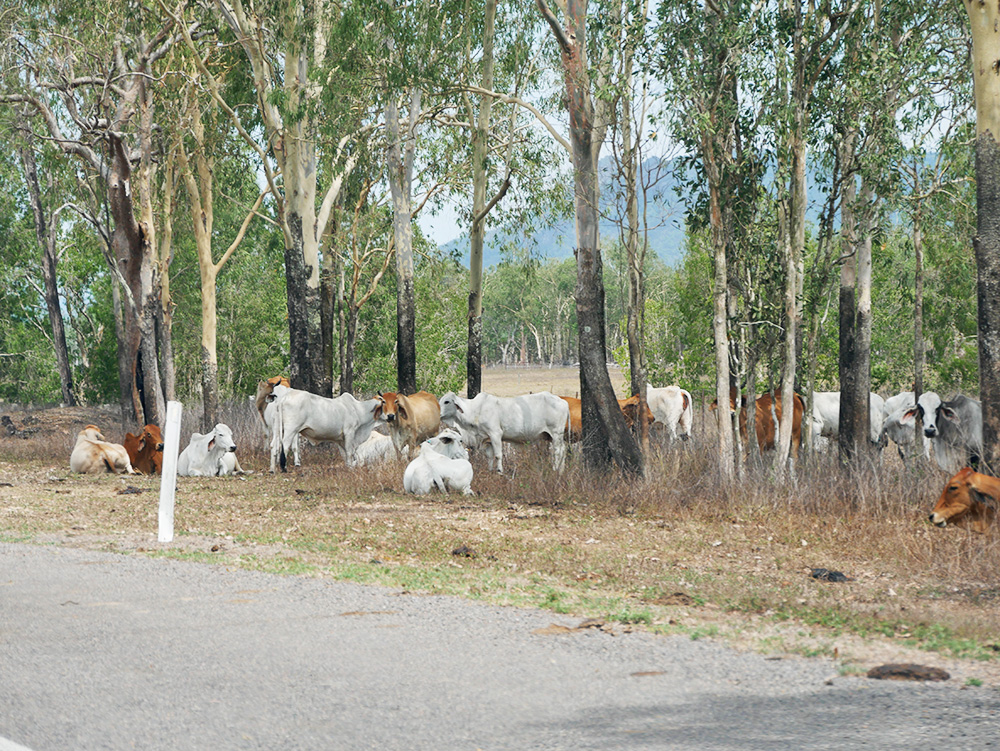 Cows and calves beside the road