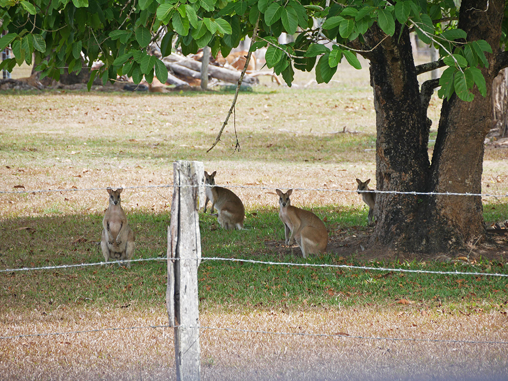 How cute are these wallabies