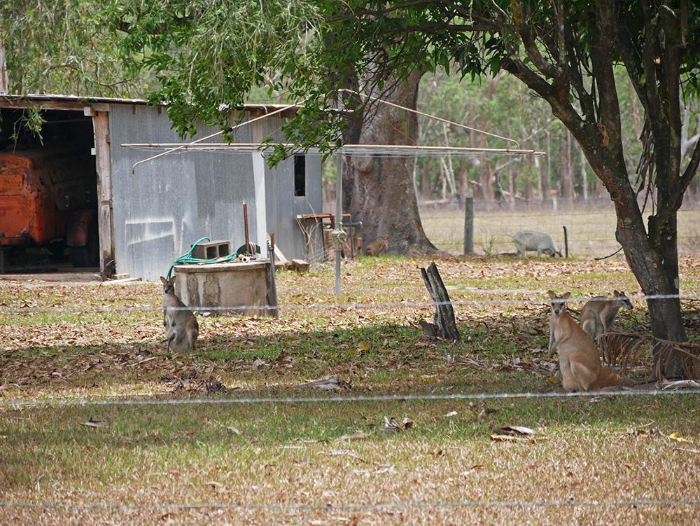 Lovely wild wallabies